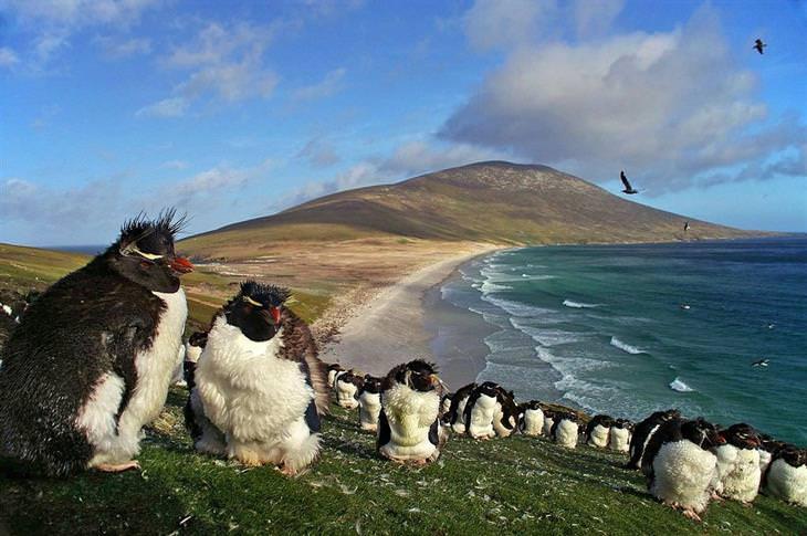 תמונות היום של ויקיפדיה: מושבה של פינגווינים מצויצים מערביים בחופי איי פוקלנד