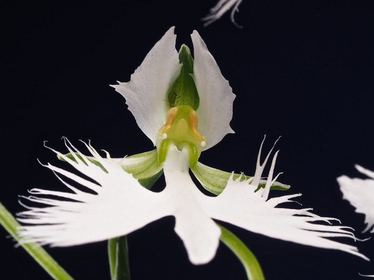פרחים בעלי מראה משונה: סחלב האנפה הלבנה