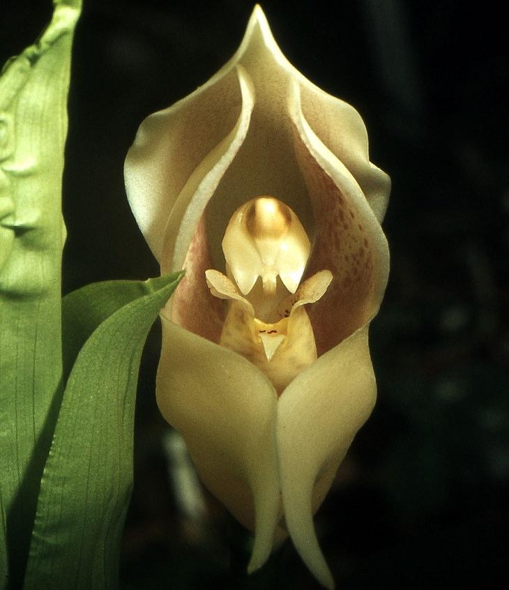 פרחים בעלי מראה משונה: צמח תינוק בעריסה