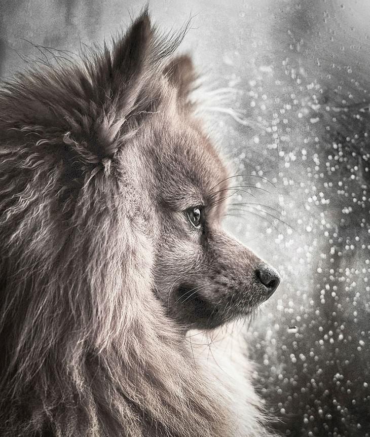 כלבים חמודים: כלב מביט על גשם מחוץ לחלון