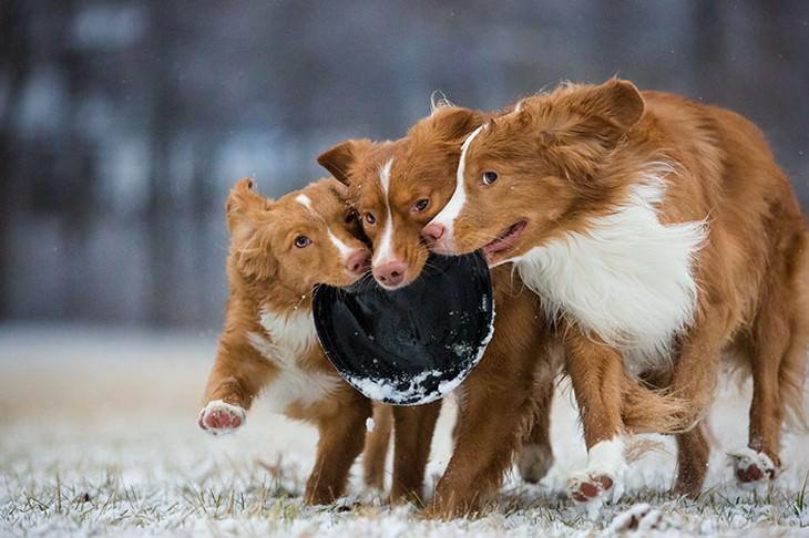 כלבים חמודים: שלושה כלבים עם צלחת פריזבי בפה