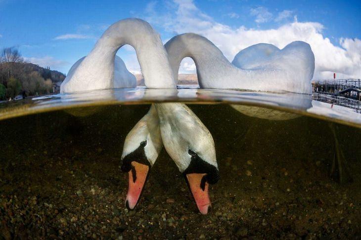 תמונות מתחרות צילום מתחת למים: ברבורים אוכלים