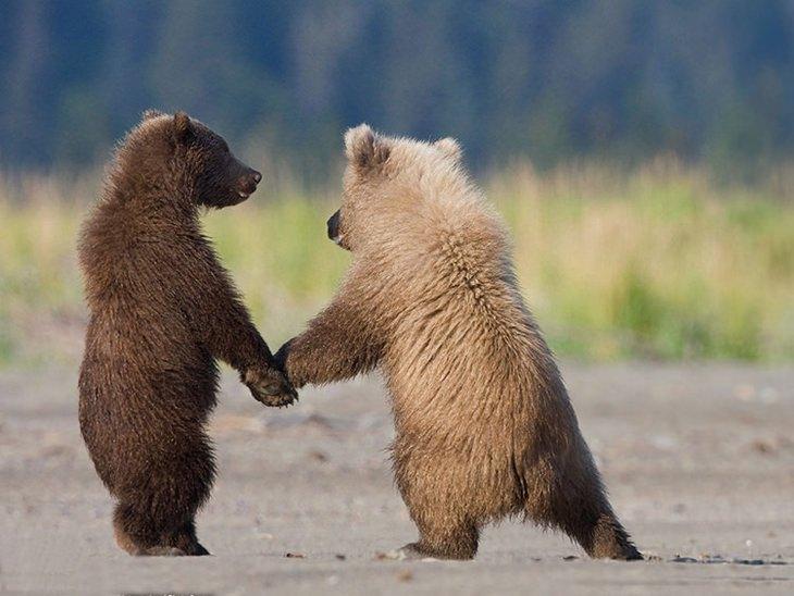 חיות מאוהבות: זוג דובים צעירים מחזיקים ידיים
