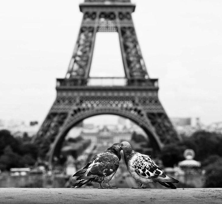 חיות מאוהבות: יונים מתנשקות מול מגדל אייפל
