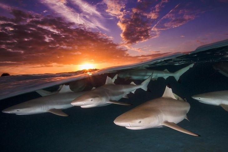 תמונות מתחרות צילום מתחת למים: עשרות כרישים שחורי שוליים