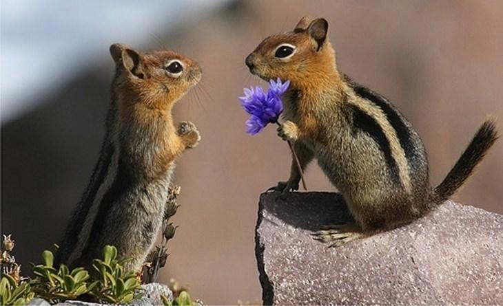 חיות מאוהבות: סנאי מגיש פרח לסנאי אחר