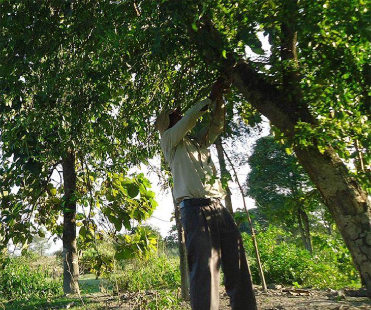 הגנן ההודי שמציל את האי מג'ולי: ג'אדאב פיינג מטפל בעצים באי מג'ולי