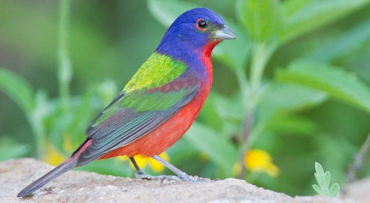 ציפורים יפות: גבתון צבעוני (Painted Bunting)