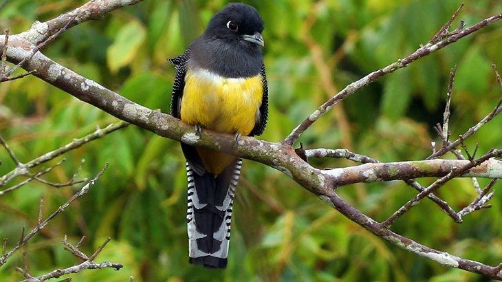 ציפורים יפות: טרוגון צפוני (Northern Violaceous Trogon)