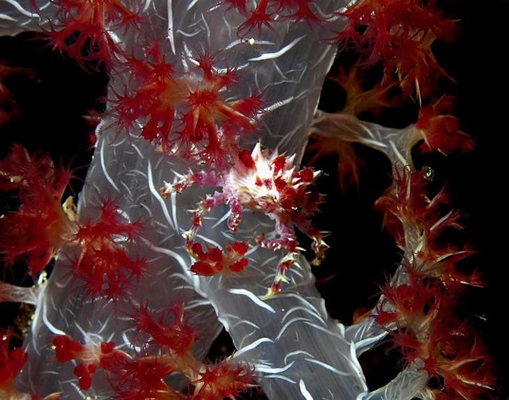 חיות ים מוזרות במיוחד: הפלופריז (Hoplophrys)