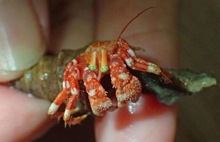 חיות ים מוזרות במיוחד: סרטן ירוק עיניים (Green Eyed Crab)