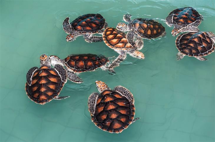 משל הקשישה והצבים: צבי ים שוחים במים