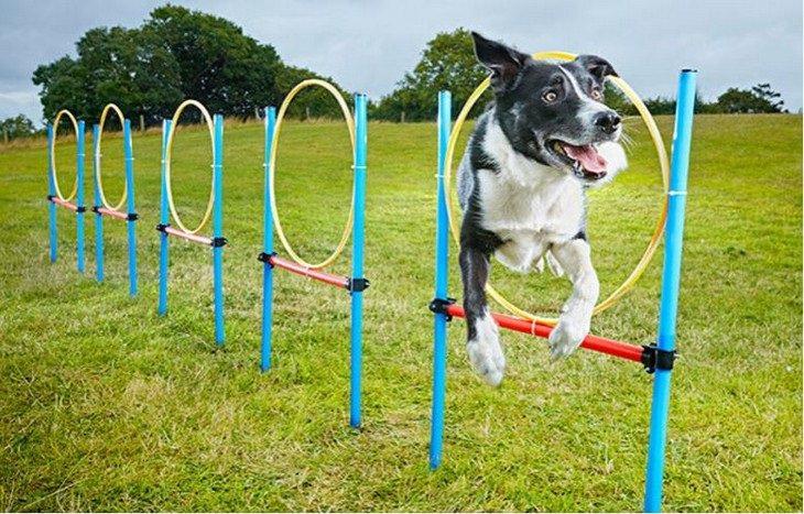 כלבים מחזיקי שיאי גינס: הכלב ניו מחזיק השיא המהיר ביותר לקפיצת סללום בין חישוקים
