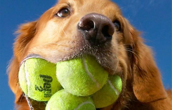 כלבים מחזיקי שיאי גינס: הכלבה אוגי מחזיקת השיא כמות כדורי טניס בפה בפעם אחת