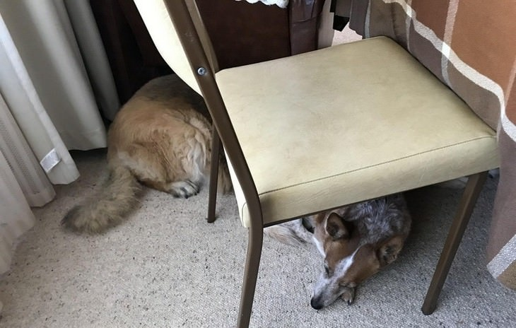 תמונות ברגע הנכון: שני כלבים מתחת לכיסאות