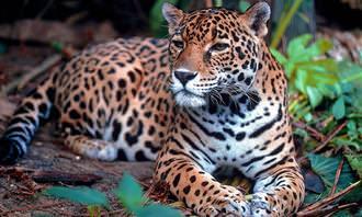 מבחן הישרדות בג'ונגל: יגואר