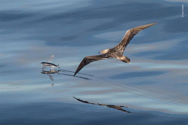 תמונות טבע מדהימות: ציפור עפה אחרי דג מעל המים