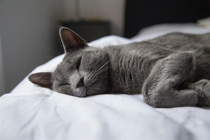 סיבות לכך שלא מומלץ לישון עם חיית המחמד: חתול ישן על מיטה
