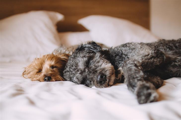 סיבות לכך שלא מומלץ לישון עם חיית המחמד: צמד כלבים ישן על מיטה
