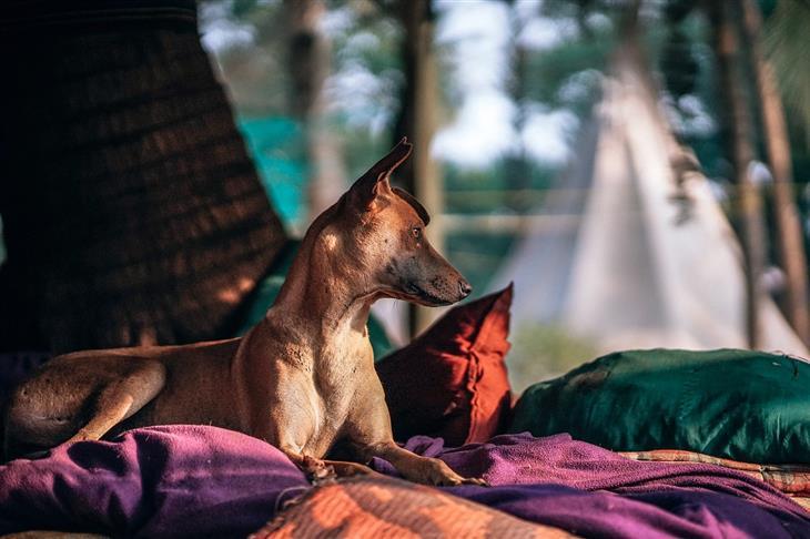 סיבות לכך שלא מומלץ לישון עם חיית המחמד: כלב יושב על מיטה