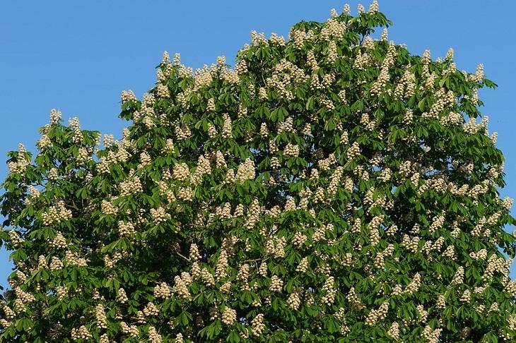יתרונות בריאותיים של ערמונים: עץ ערמונים