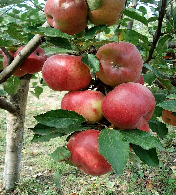 גדל זאת בעצמך: תפוחי עץ
