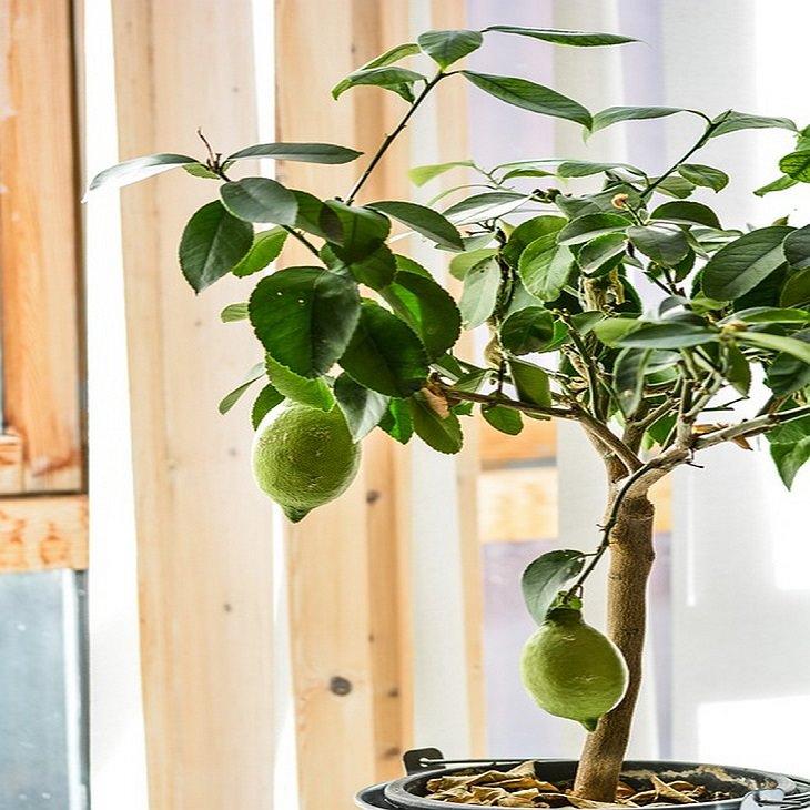 גדל זאת בעצמך: עץ לימון בעציץ