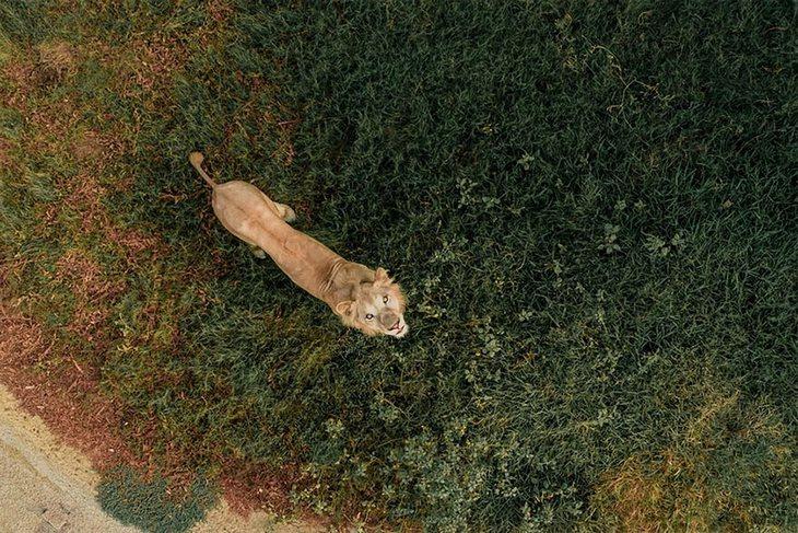 """תמונות יפות ומדהימות מרחפן: """"אריה מול רחפן"""" צולם על ידי Bachirm"""