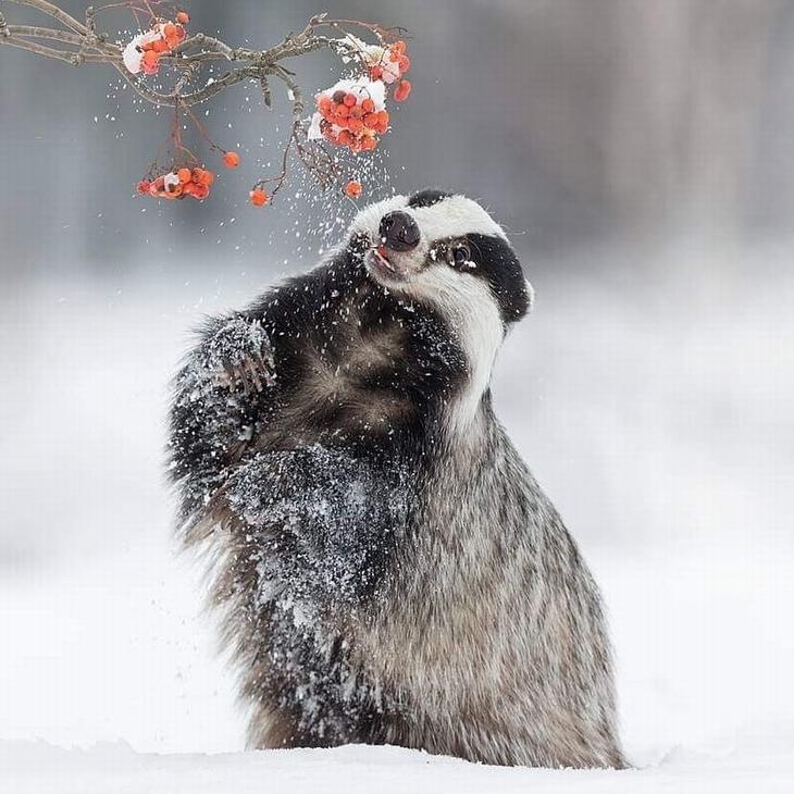 תמונות טבע מדהימות: גירית מנסה לתפוס גרגירי יער על ענף