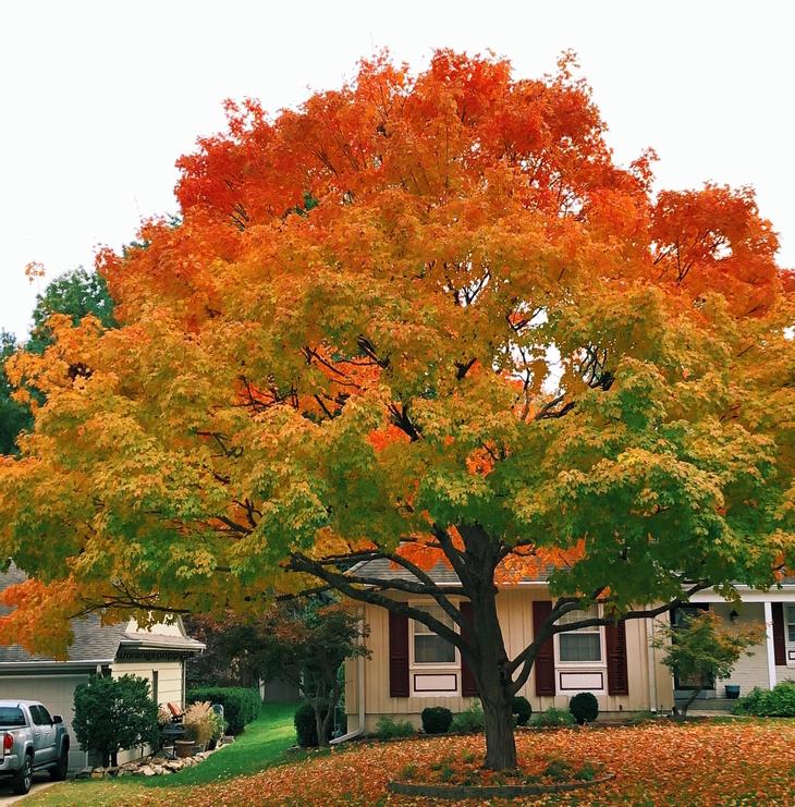 תמונות טבע מדהימות: עץ שצבעיו משתנים בהדרגה מירוק לאדום