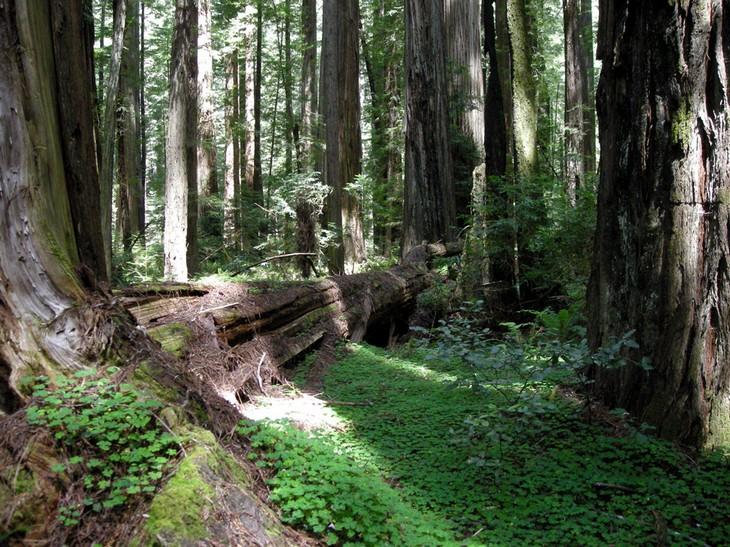יערות מיוחדים: עצים גבוהים בפארק המדינתי רדווד המבולדט