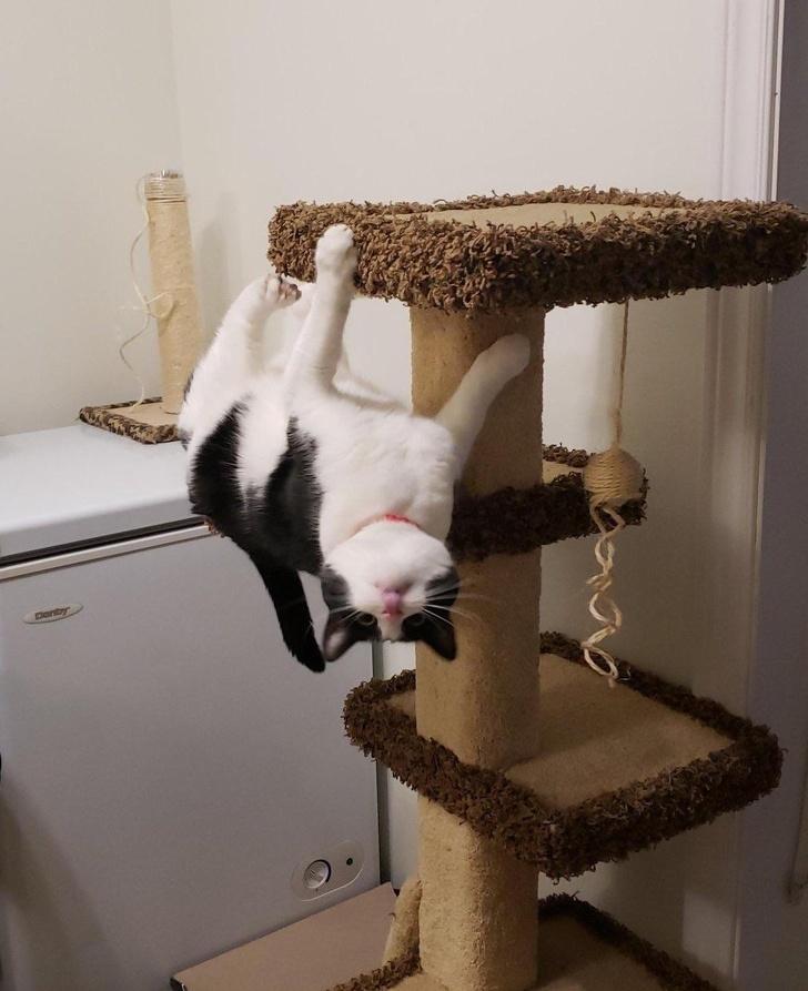 חתולים אקרובטיים וגמישים: חתול תלוי הפוך על מתקן גירוד
