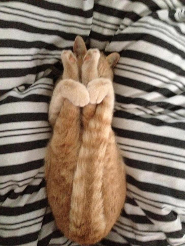 חתולים אקרובטיים וגמישים: חתול שוכב על הגב ומצמיד את רגליו לגופו