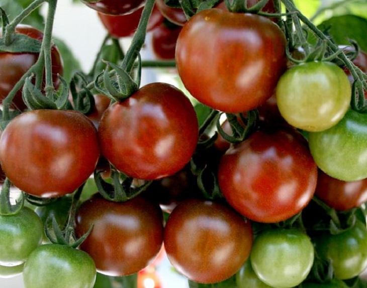 מדריך העגבניות: עגבניות שרי ליקופן