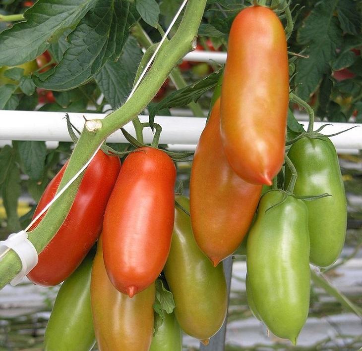 מדריך העגבניות: עגבניות סאן-מרזנו