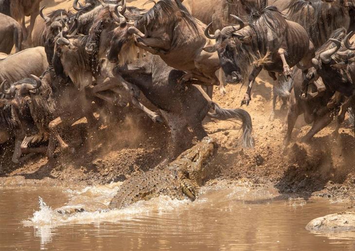16 התמונות הנבחרות של נשיונל ג'אוגרפיק: עדר של גנו מגיעים לנהר לשתות ביום חם, כשלפתע תנין מגיח מן המים ומנסה לצוד אחד לארוחה.