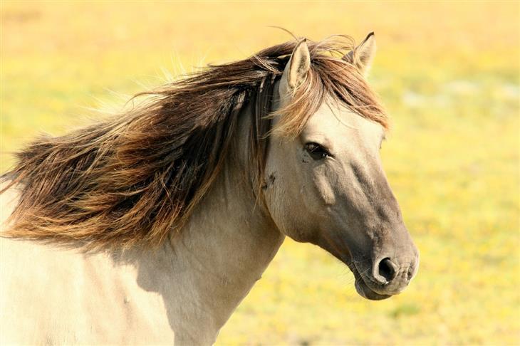 בדיחה על פיתום בכפר ערבי: סוס