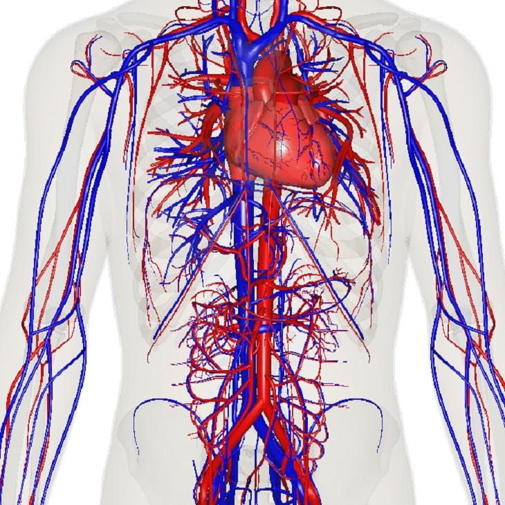 טיפול בוורידים בולטים ומניעתם: מפת כלי הדם של הגוף