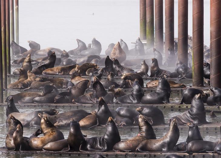 """תמונות טבע מדהימות: אריות ים """"משתלטים"""" על הרציפים של נמל העיר אסטוריה בארה""""ב"""