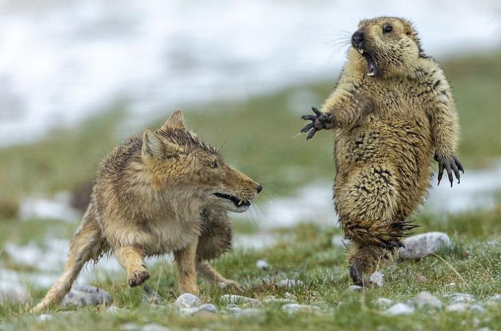 תמונות של חיות בר: מרמיטת הימלאיה מבוהלת בעקבות מפגש עם נקבלת שועל חול טיבטי