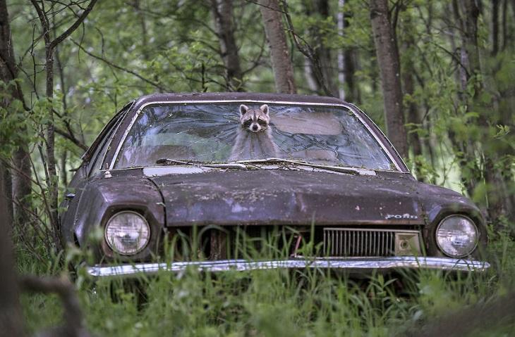 תמונות של חיות בר: נקבת דביבון מביטה מבעד לשמשה של אוטו ביער