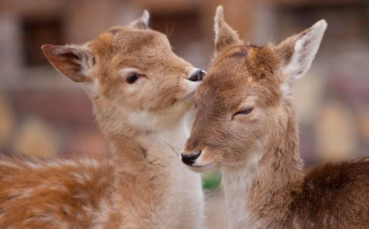 אהבה בין חיות: שני עופרים