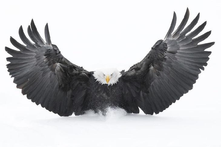 תמונות של חיות בר: עיטם לבן-ראש נוחת עם כנפיים פרוסות לרווחה