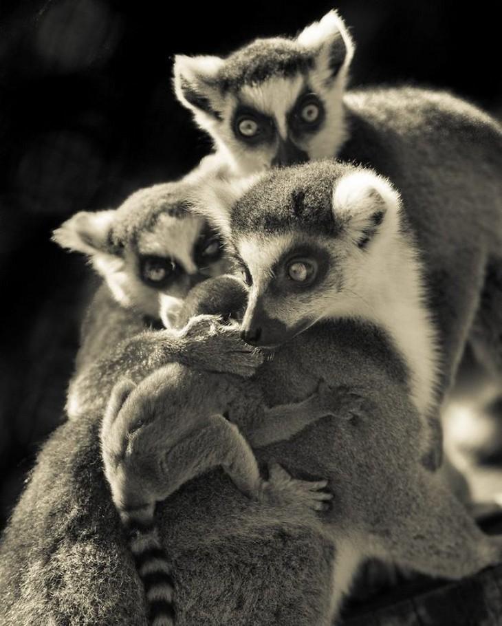 אהבה בין חיות: משפחת קופים