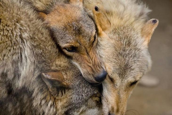 אהבה בין חיות: שלושה זאבים