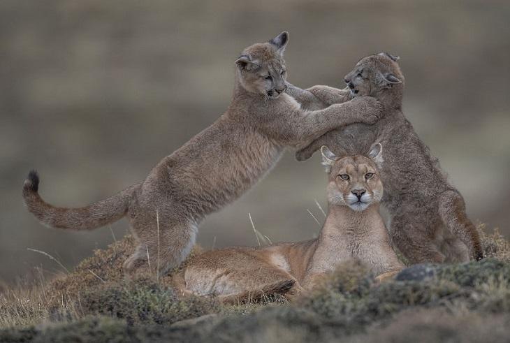 תמונות של חיות בר: שני גורי אריות נאבקים זה בזה, כשלפניהם אמם הלביאה מישירה מבט למצלמה
