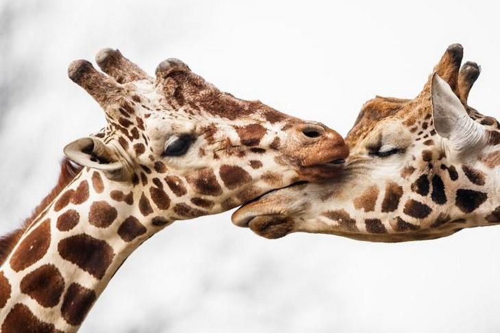 אהבה בין חיות: שתי ג'ירפות