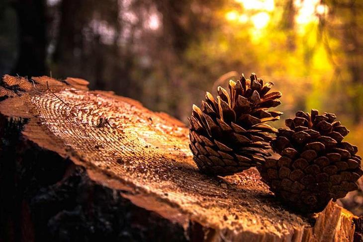 תמונות סתיו מדהימות: אצטרובלים על גזע עץ כרות