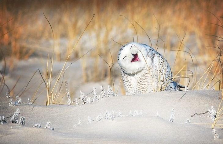 בעלי חיים מצחיקים: תנשמת לבנה עם פרצוף חמוד עומדת על שלג.