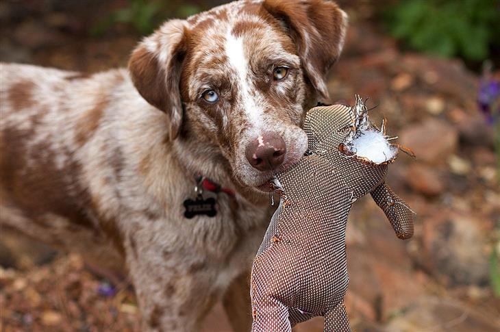 צלילים שהכלב עושה ופירושם: כלב עם בובה בפה